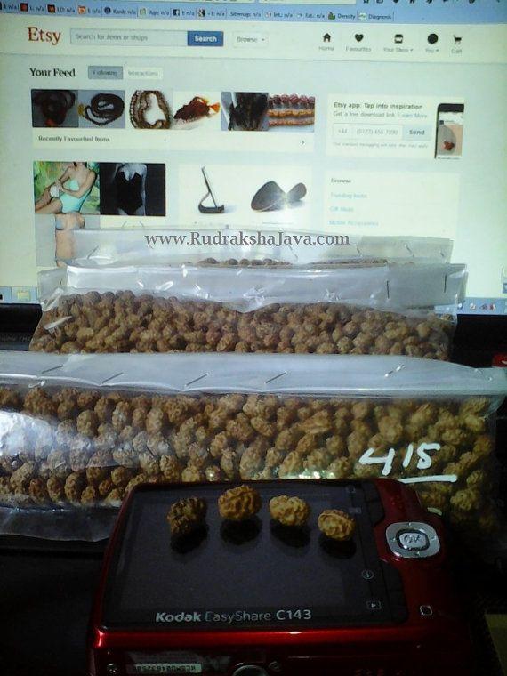 Wholesale 1000 pcs Beads Rudraksha 2 Mukhi Price $466.26 Only . by RudrakshaJava