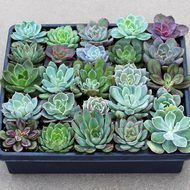 Wholesale succulents by mail - Echeveria Tray - 2in Containers - Assorted (25)
