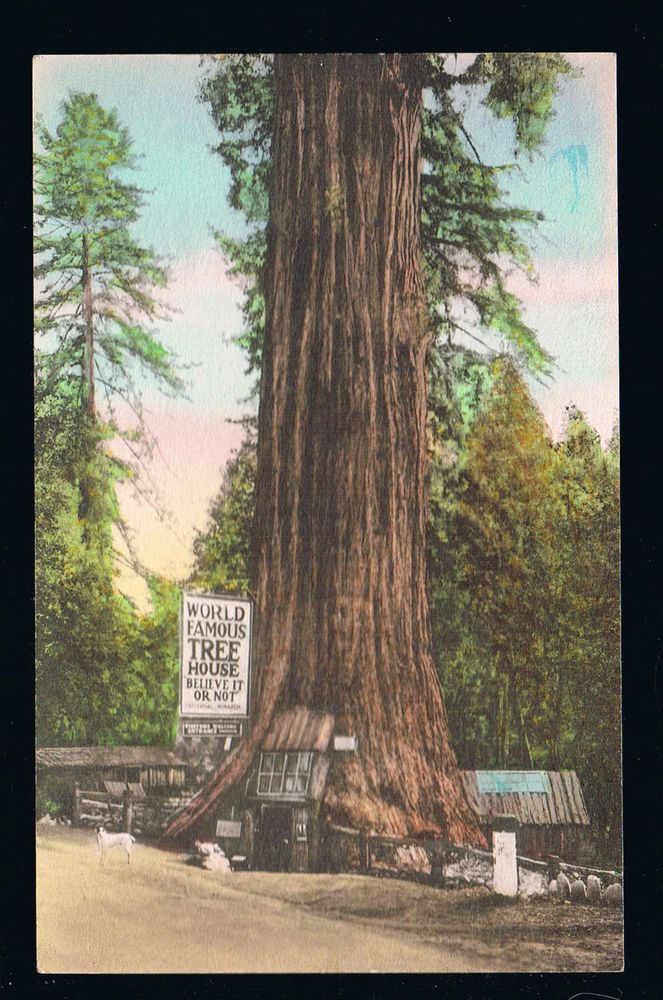 Famous Tree Houses cir 1934 handcolored: one story tree house at lilley redwood park