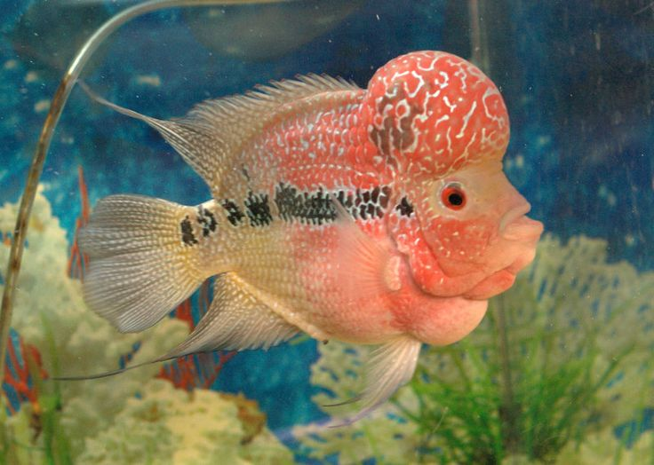 1000 images about freshwater tropical fish on pinterest for Dwarf puffer fish for sale