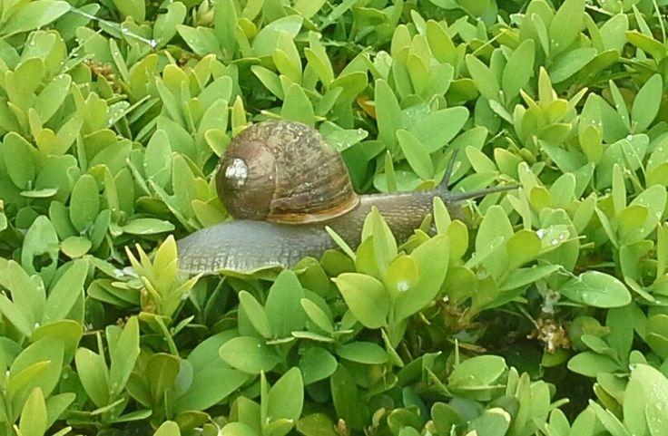 Er is een slakken invasie in de tuin, ze doen zich tegoed aan de Hosta's en de jonge aanplant van Dahlias de en de courgette planten.