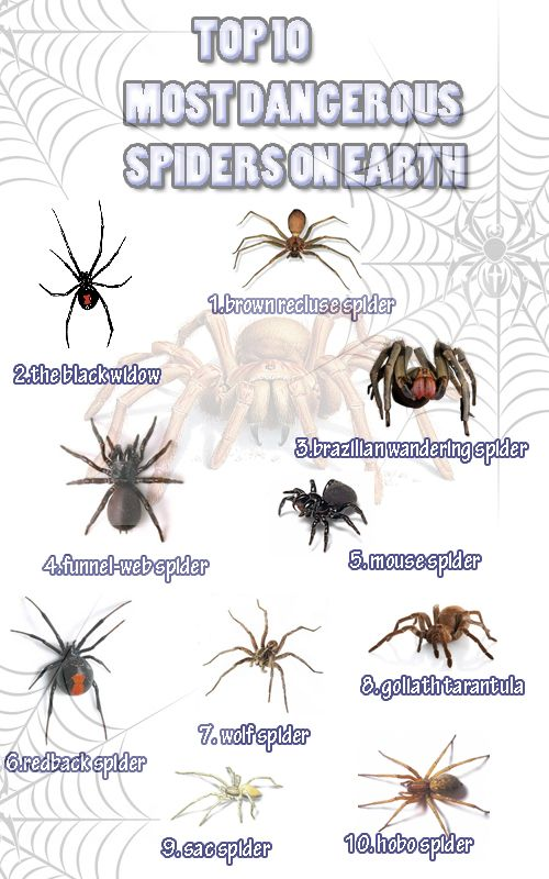 The Top 10 on Spiders. In Europe Ticks (related to spiders) like Ixodes ricinus are much more dangerous due to the FSME Virus (Tick-borne encephalitis virus) and Borreliose (Lyme disease). So watch your steps in Mother Nature ...