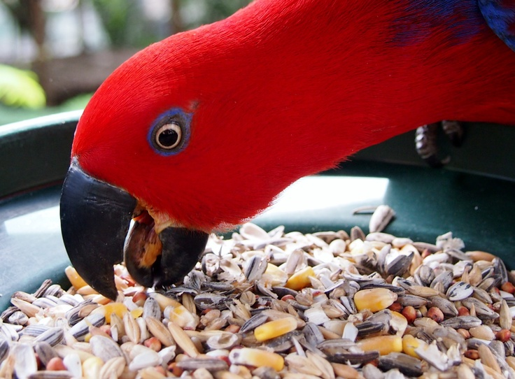Eclectus Parrot at the Wildlife Habitat, Port Douglas , Queensland, Australia. An absolute must-visit in the Port Douglas and Cairns region.