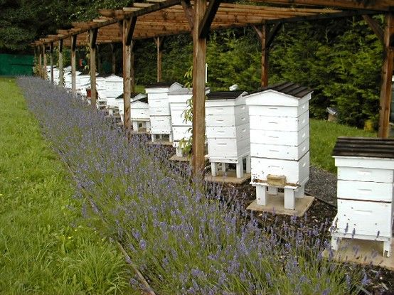 Bee hives and lavender - some day I will have enough hives to do this