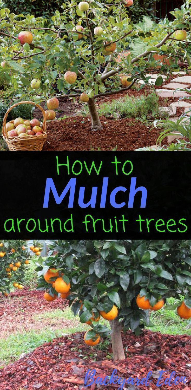 How to mulch around fruit trees | Fruit Trees | Food Forest | Permaculture | Permaculture Homestead | Permaculture Design | Permaculture Gardening | Permaculture Farm | Permaculture Guilds | Beginner Permaculture | Permaculture for Beginners | Backyard Permaculture | Permaculture Food Forest | Permaculture Ideas | Permaculture Orchard | Permaculture Layout | Urban Permaculture | Permaculture Zones | DIY Permaculture | Backyard-Eden.com #urbanhomesteadinglayout #urbanhomesteadingdiy