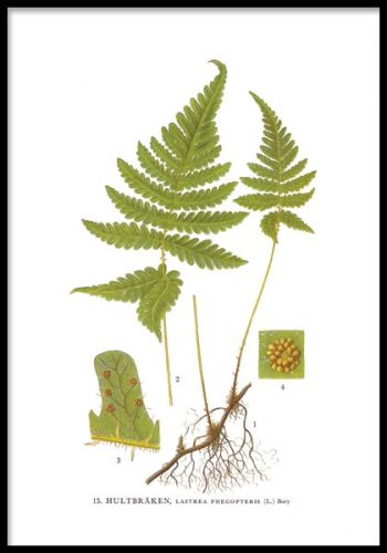 Inramad poster, Ormbunke från Nordens Flora.