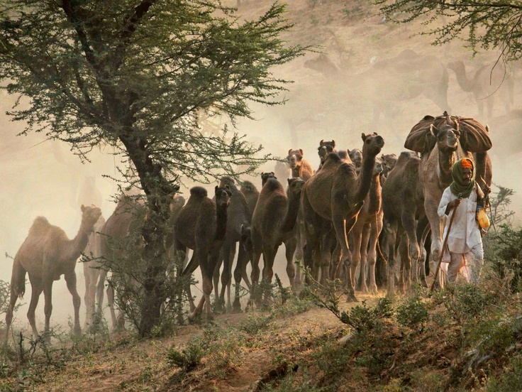 In het Indiase Pushkar vindt dezer dagen de jaarlijkse kamelenmarkt plaats. De 'camel fair' in Pushkar is één van de grootste kamelenmarkten ter wereld. De markt duurt vijf dagen en is de afgelopen jaren uitgegroeid tot een belangrijke attractie voor toeristen. Lokale herders nemen naast hun kamelen paarden en ander vee mee om van de hand te doen. In totaal nemen de herders zo'n 20.000 dieren mee. De markt trekt 300.000 mensen naar Pushkar.