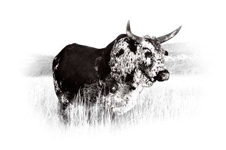 'Inkwazi Bull - Duo Tone' Canvas Print. Available in a range of sizes. R520 - R2650. Delivery is FREE to anywhere in South Africa!
