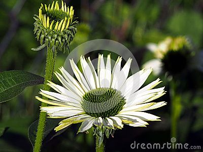 Blooming Echinacea - Coneflower in a flowerbed.
