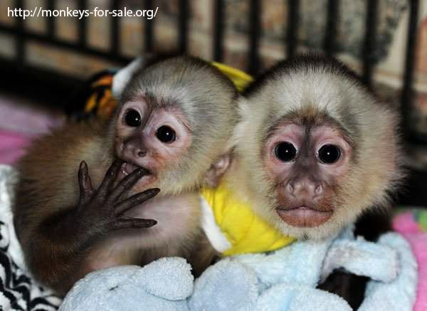 http://monkeys-... Kittens For Sale