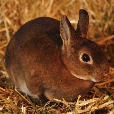 ---Lapin nain Rex---  Le lapin rex possède une fourrure duveteuse très dense et courte à l'apparence du velours. Depuis 1924, le lapin rex est une race officielle française. En revanche son cousin Rex nain n'a pas de standard reconnu à ce jour. Il est obtenu par le croisement entre un lapin Rex et un lapin de race naine. En comparant le Rex avec le Géant des Flandres (voir photo), on mesure toute la palette des tailles chez le lapin !