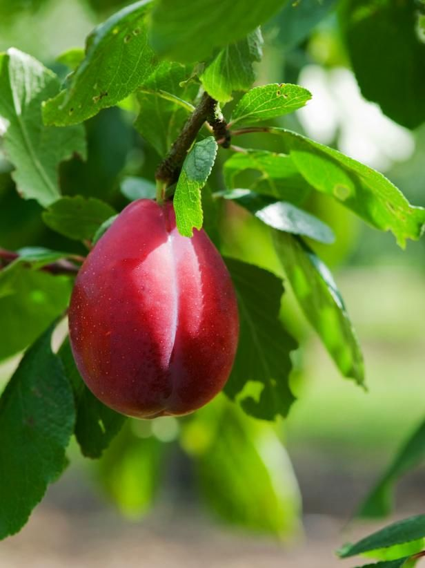 Discover how to grow delicious and juicy plums with this simple planting and maintenance guide.