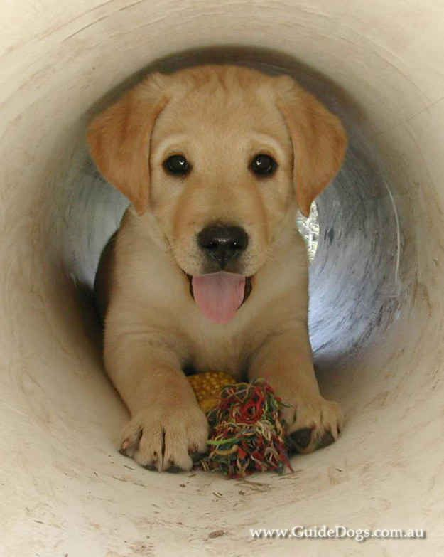 In Australia, Labradors and Golden Retrievers are the main breeds used as guide dogs, mostly because of their temperament and intelligence. | 17 Adorable Guide Dogs In Training That Will Put A Smile On Your Face