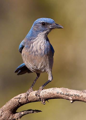 Western Scrub Jay (Explore) | Backyard birds, Beautiful ...