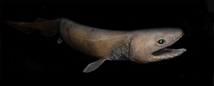 "Frilled Shark or the ""Living Fossil""  (Chlamydoselachus anguineus) at Aquarium tropical du Palais de la Porte Dorée (Paris)"