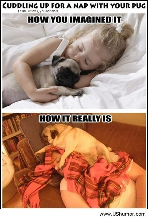 Sleeping with the pug US Humor - Funny pictures, Quotes, Pics, Photos, Images on imgfave