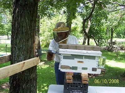 Trapping Bees out of a tree, without cutting the tree down - Here's is the BIG TRICK; inside this Nuc box, is 4 brood frames that are FOUNDATION ONLY. The remaining 5th frame is a frame of brood, placed in the center of the Nuc, with another Queen on this brood frame. The bees come out of the tree, can't get back through the Cone, find that there is ANOTHER Queen inside this new box that needs help raising all this new found brood. These newly trapped workers then kick into gear…