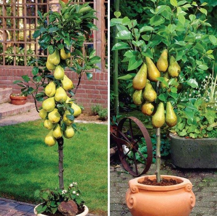Columnar Fruit Trees Create Your Own City Orchard With These Dwarf Fruit Trees Potted Trees Patio Fruit Trees
