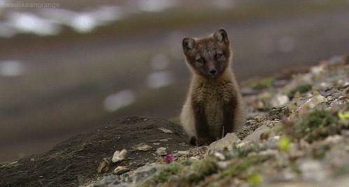 ~An arctic fox cub (Wild Russia - NDR)