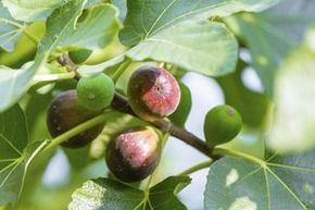 Figs growing on a tree branch.                                                                                                                                                      More