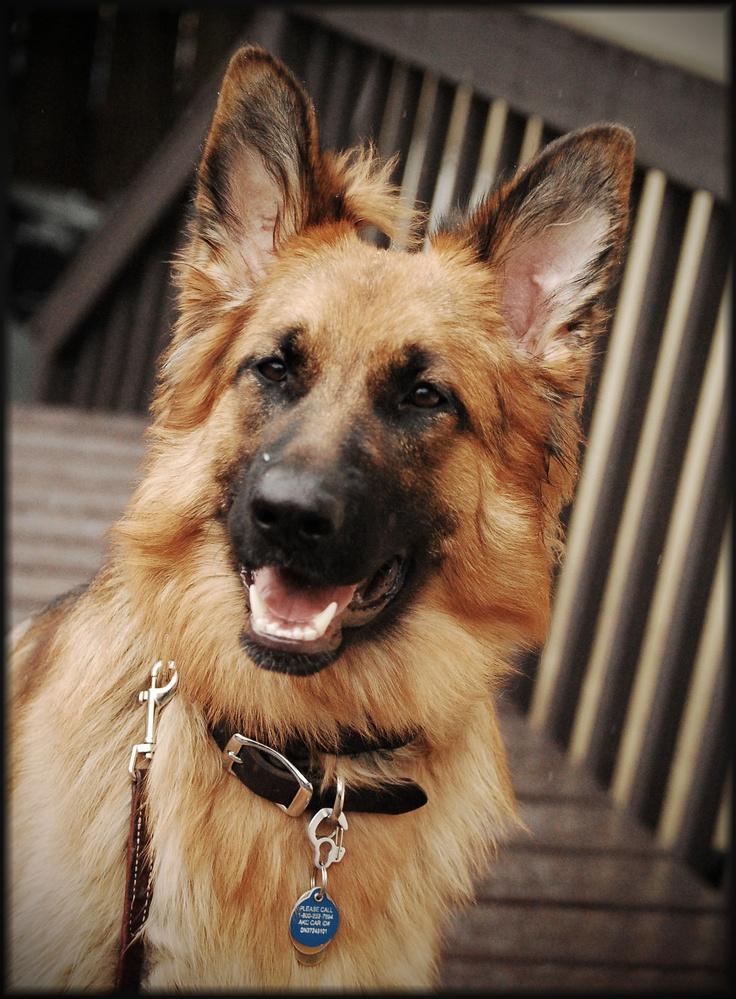 Miss Martha, Long Hair German Shepherd