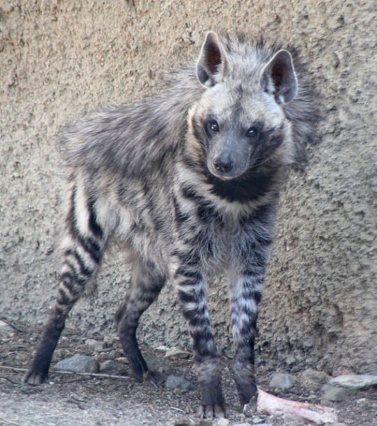 A striped hyena. Would like to do a painting with this subject matter one day.