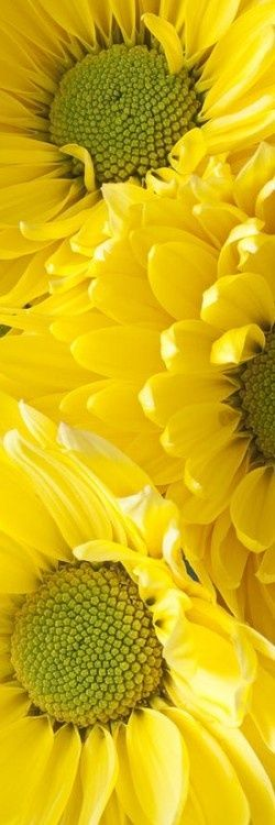 "janetmillslove: ""yellow daisies ✿⊱╮ moment love """