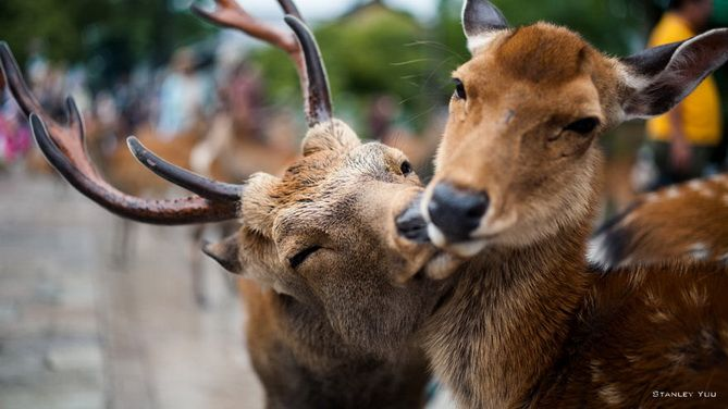 11. A deer and a doe kiss and a couple of dogs are licking of