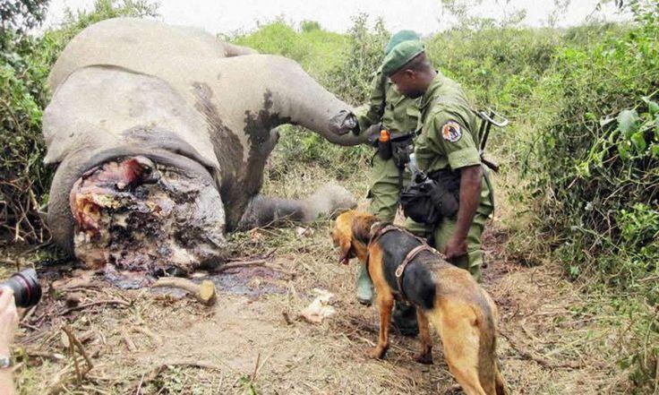 Cameroun: Des braconniers saisis avec 140 espèces animales et des armes à feu à Bertoua - http://www.camerpost.com/cameroun-des-braconniers-saisis-avec-140-especes-animales-et-des-armes-a-feu-a-bertoua/?utm_source=PN&utm_medium=CAMER+POST&utm_campaign=SNAP%2Bfrom%2BCamer+Post