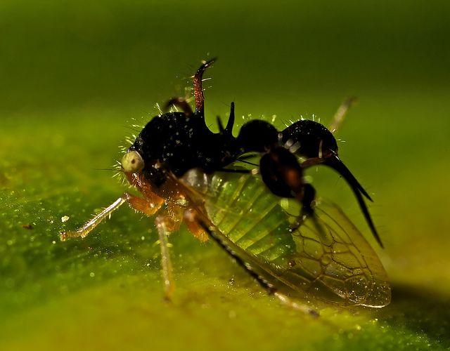 Cyphonia clavata Este membrácido es chinche por delante y hormiga por detrás. Tiene unas alas que lo caracterizan y la forma de su cuerpo le permite camuflarse para que los depredadores no lo detecten. Se encuentra en algunas regiones de Venezuela