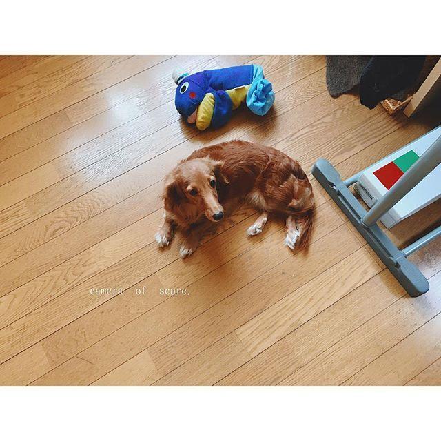 お掃除後のフローリングを堪能するララちゃん。お気に入りのイルカさんと一緒に。 . . #ミニチュアダックスフンド #ミニチュアダックス #愛犬 #メス犬 #大好きなぬいぐるみ