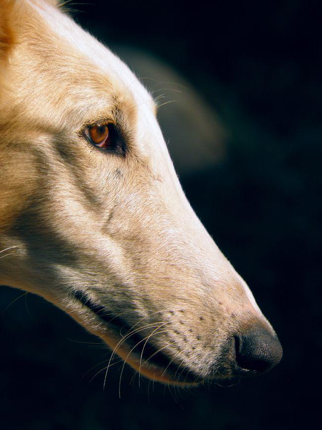 Irish hound by RobART Nikolchev, via 500px