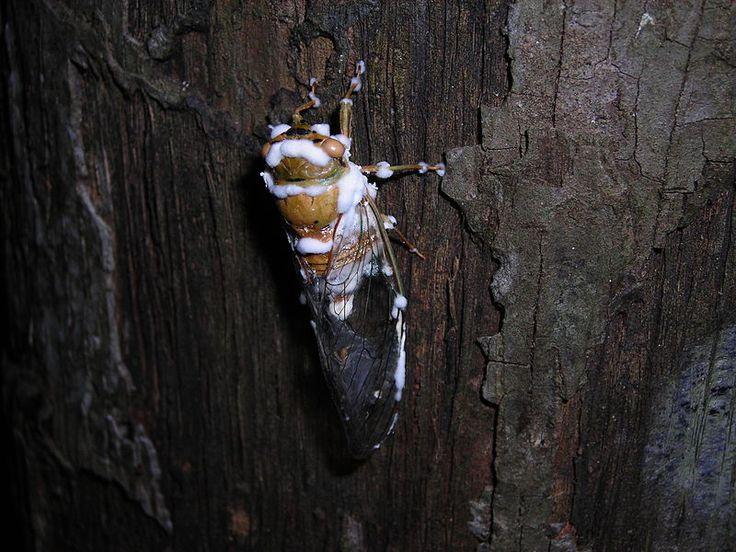 File:Beauveria bassiana 16552.jpg