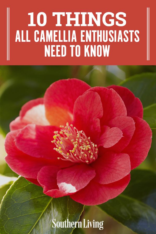 10 Things All Camellia Enthusiasts Need To Know In 2020 Camellia Plant Growing Peonies Evergreen Flowering Shrubs