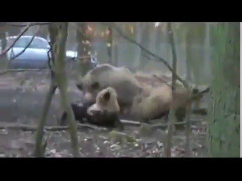 Pitbull vs Wild Boar Hunting