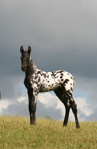 An Appaloosa colt, a Leopard. We have 9 equines now at out sanctuary, but nothin' this beautiful. Ours are special needs and/or elderly animals, domestic and exotic. A forever home for the unadoptable.