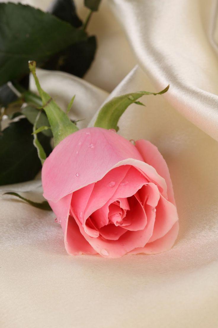 Gambar Wallpaper Bunga Mawar Pink