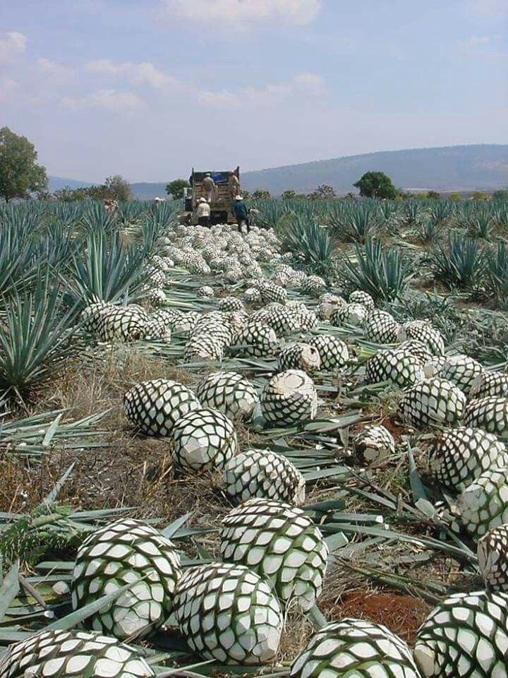 how to grow agave tequila cactus
