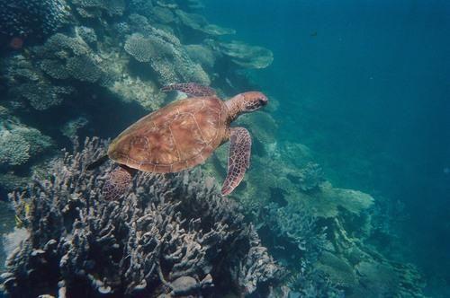 sea turtle at Ningaloo Reef in Australia