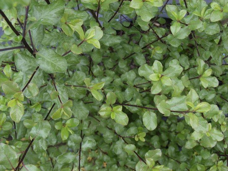 Pittosporum tenuifolium - Screenmaster Blerick Trees Buy Online Trees Advanced Trees, Screening Plants, Fruit Trees