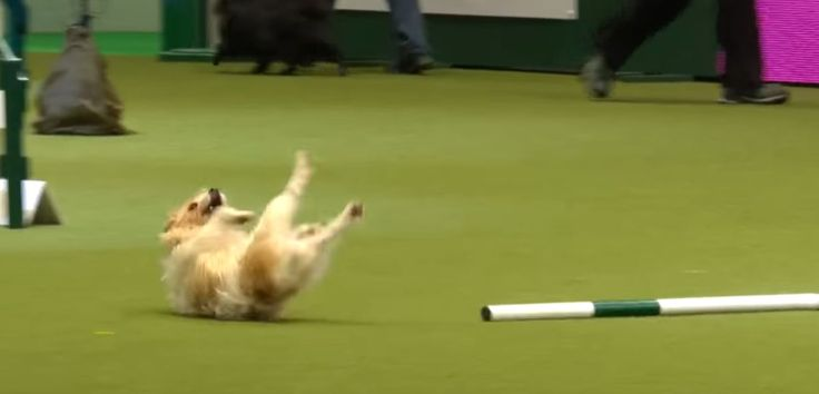 Energetic dog won't let a course fail get in his way, even the announcer can't get enough