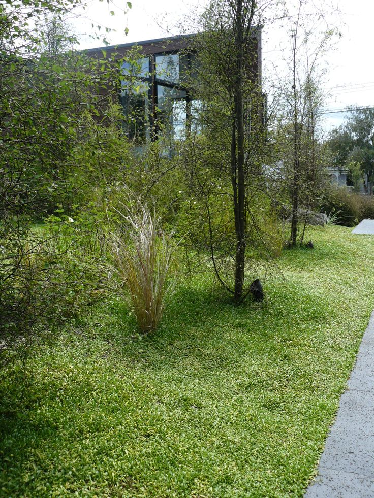 Selliera ground over new zealand natives pinterest - Eigentijdse landscaping ...