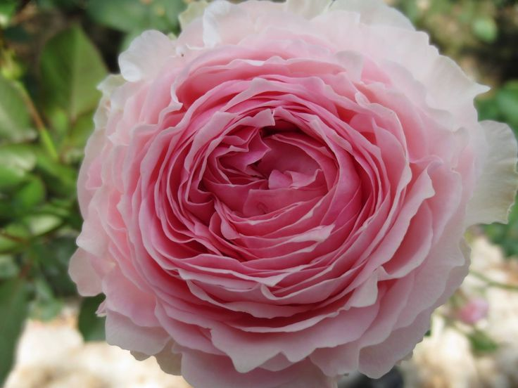 16 Best Images About Romantic Garden Rose Collection On