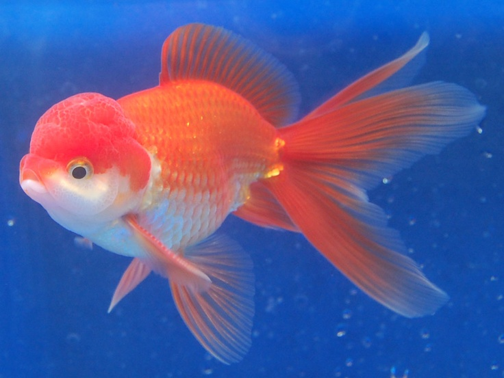 Oranda Related Keywords - Oranda Long Tail Keywords ...