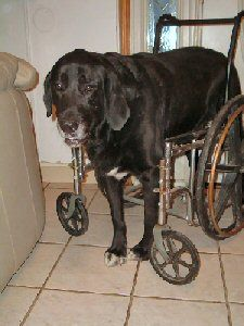 Recycle a wheelchair to make a wheelchair for a big dog.