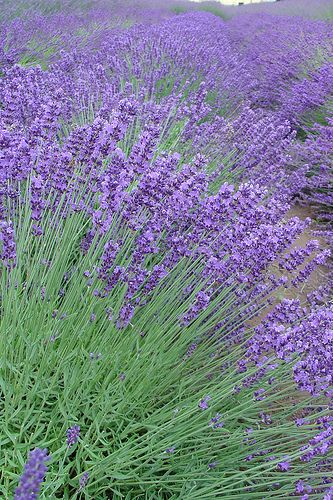 I want to grow a whole field of this! I have lavender cream from Whole Foods that puts me to sleep at night! It works!