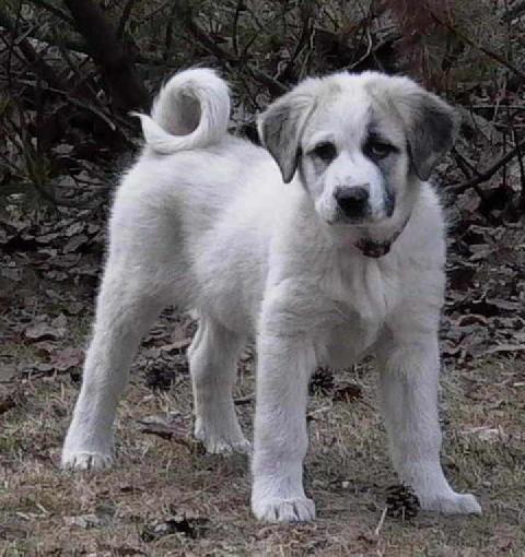 anatolian shepherd | Anatolian Shepherd puppy Picture - ClipeArt Photo #14951