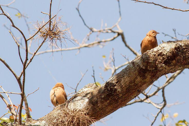 CURRIRA  O Corruira é uma ave passeriforme da família Troglodytidae. Possui diversos nomes populares, tais como: correte, maria judia (Pará), currila, cambaxirra, garrincha (Minas Gerais e Maranhão), cutipuruí (Pará, Amazonas), rouxinol (Ceará, Pernambuco e Paraíba), corruíra-de-casa, carriça, garriça, curuíra, coroíra, curreca (Santa Catarina) e carruíra (Rio Grande do Sul). Quase inconfundível, ao menos em ambientes alterados pelo homem, pois as outras espécies brasileiras da família…