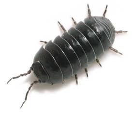 142 Best Images About Woodlice On Pinterest Tree Fu Tom