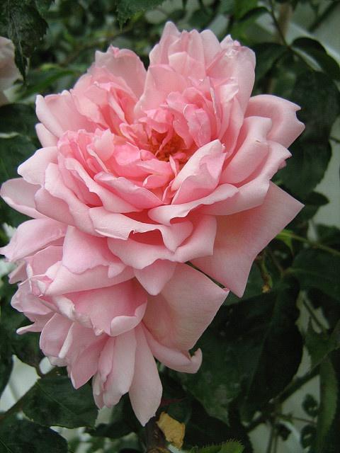 'Albertine' rose